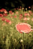 Poppies by jcphillips