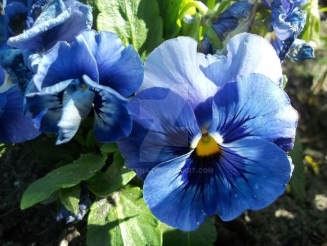 Flora 05/2017 - Pansy flowers - Royal Blue 1 by Shayha