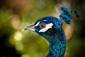 Peacock in Barcelona by nervo86