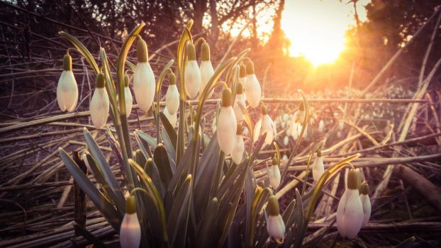 Snowdrops at Sunset by netzephyr