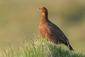 Basking in the sun - red grouse by Jamie-MacArthur