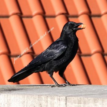 crow 16 by peroni68
