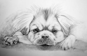 Tibetian Spaniel by Midnight-Sun-Art