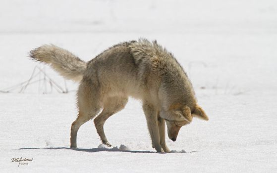 coyote pounce II by DGAnder