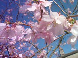 Blossom blooms. by Icemixx