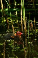 Baby Coot exploring the world by steppeland