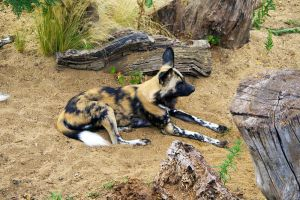 African Wild Dog by EvoLens