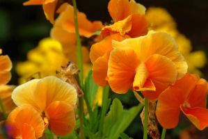 orange pansies by cheah77