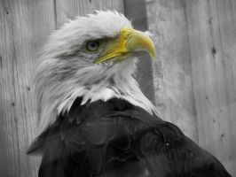 Bald Eagle by Chaosthief