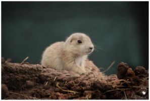Prairie Marmot - four - by Pixie-Arts