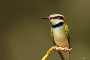 White-throated Bee-eater by DaSchu