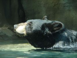 Black Bear by pcoppolo46