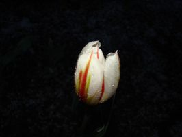 First Tulip by docbevo