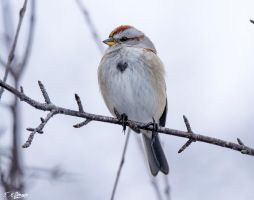 Tree Sparrow with a Big Heart by Nini1965
