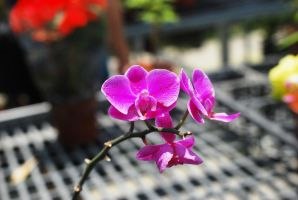 Taiwan ORCHID by reiime
