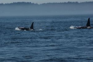 Orcas by Electric-Mongoose