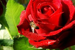 Rose and Bee by XResch