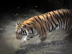 Wading tiger by tkguess