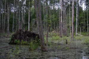 Trees in a swamp stock #9 by croicroga
