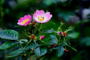 Dog Rose (Rosa canina) by Steve-FraserUK