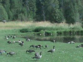 Bunch of Geese 2 by AHumrich92