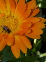its a bee on my flower by lordelementus
