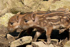 Baby wild boars - Sus scrofa by TheFunnySpider