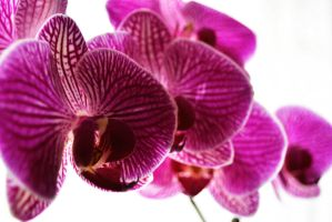 Purple phalaenopsis orchid by fosspathei