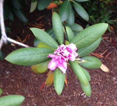 Autumn Rhododendron in Bloom by peachwookiee