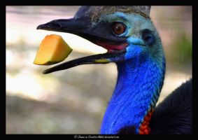 Southern Cassowary Eating by Creative-Addict