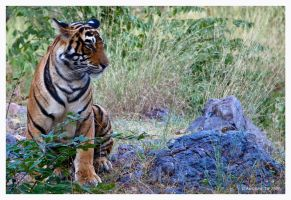 Royal Bengal by AndrewToPhotography