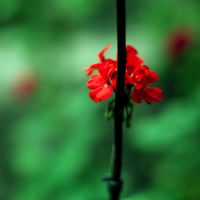 red flower by Lapapunk