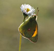clouded yellow by lisans