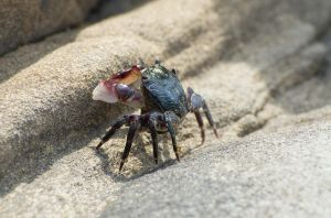 Striped shore crab by PaulWeber