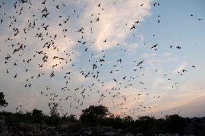 Bats at Frio Bat Flight! by adamlhumphreys