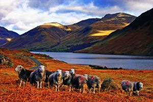 Herdwick sheep Wasdale by Capturing-the-Light