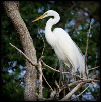 A Great Egret Settles In for the Night. by Merhlin