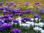Purple and White Crocus Sunset by Yoruichi-Takashi