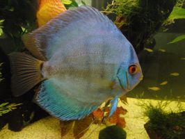 disco fish blue by AlenaKrause