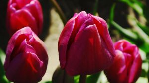 Tulip Festival #12 by KRHPhotography