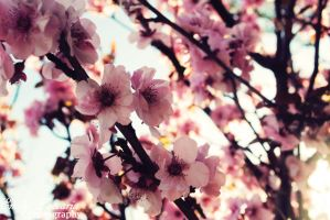 Almond flowers by EmZacPhotography