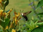 .,Snowberry Clearwing moth,. by duggiehoo