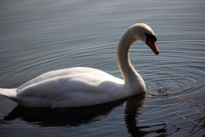 Swan_ by Fellrakete by Fellrakete