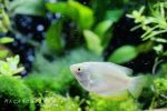 Female dwarf gourami by thebreat