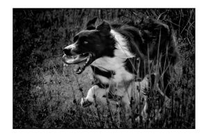 Border Collie -I See You by AndersStangl