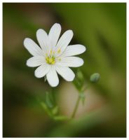 small white flower by mzkate