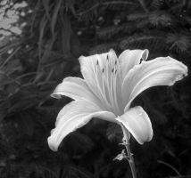 Black and White Tiger Lily by Kaito42