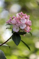 Mountain Laurel by CASPER1830