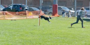 2014 Dog Festival, Agility Contest 30 by Miss-Tbones