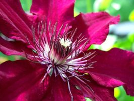 Purple Clematis by FordGT